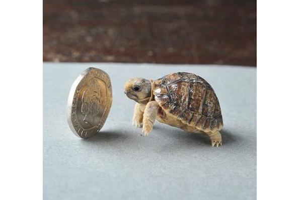 A tartaruga é tão pequena que uma moeda foi colocada na foto para compar ao seu tamanho. Foto: Reprodução / www.acidcow.com -