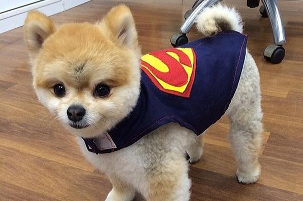 O cachorro, da raça lulu da pomerânia, faz sucesso nas redes sociais e no palco do programa Hoje em dia, da TV Record -