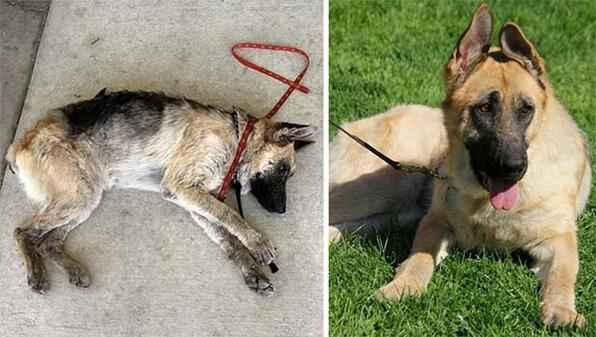 Fotos mostram o antes e o depois de cães abandonados e resgatados em vários locais do mundo. - Reprodução