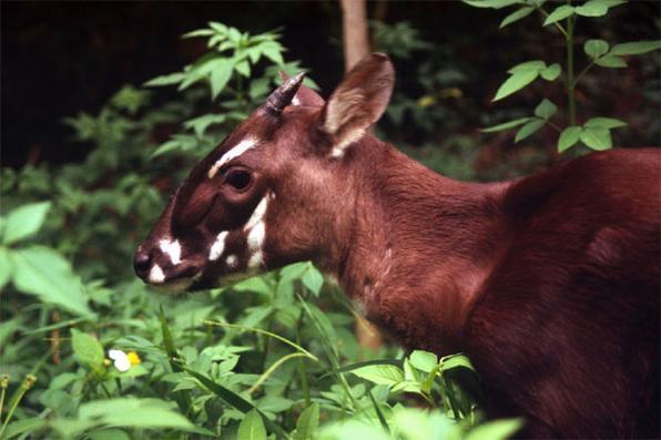 Saola ou Boi-de-Vu-Quang (Pseudoyx nghetinhensis) - De tão rara, essa espécie de bovino com chifres de até um metro de comprimento costuma ser chamada de Unicórnio Asiático. Em 1992, uma equipe encontrou o crânio de um de seus poucos indivíduos pendurado na cabana de um caçador, na selva do Vietnã. Era a primeira grande espécie de mamífero descoberta em mais de 50 anos. Dependendo de circunstâncias bem específicas em seu habitat, nenhum dos que foram mantidos cativos em zoológicos sobreviveu. E diante da exploração da área, estima-se que a população total não ultrapasse o número de 500 animais. Atualmente, o Saola encontra-se em perigo crítico de extinção. Foto: worldwidelife.org -