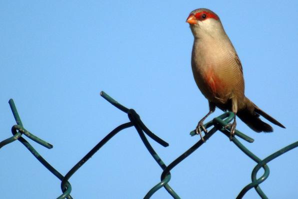 Grande variedade de pássaros no Jardim Botânico do Curado. Foto da Andorinha Serradora. - Samuel da Silva e Souza/Divulgacao