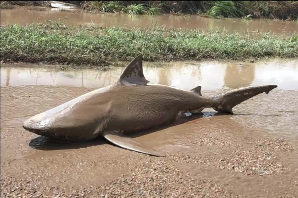 Tubarão-touro aparece em uma estrada perto da cidade de Ayr, após um ciclone que causou estragos no nordeste da Austrália. Foto: AFP PHOTO / POLÍCIA SERVIÇO QUEENSLAND / STR  -