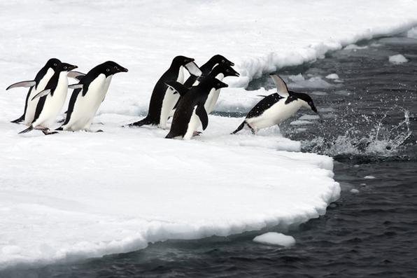 Dia Mundial do Pinguim, criado para promover a saúde e conservação icônica das aves marinhas, se baseia em um acordo histórico alcançado na Austrália em outubro passado. Foto:  AFP PHOTO / John B. WELLER  -