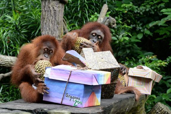 FOTOS DO DIA (Os orangotangos Ah Meng e Comel desfrutam de frutas durianas para marcar o 44º aniversário do zoológico de Cingapura em Cingapura. Foto: AFP PHOTO / ROSLAN RAHMAN. )