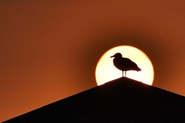 Uma gaivota é vista em silhueta em frente ao sol em Quiberon, no oeste da França, quando o céu formou uma cor amarelo-ocre devido a areia do deserto do Saara e poeira de incêndios florestais em Portugal sendo transportada pelo vento do Storm Ophelia. Foto: AFP PHOTO / LOIC VENANCE. -