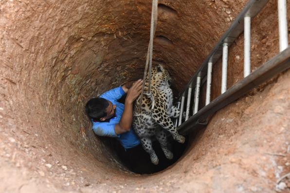 Um leopardo foi resgatado da área de Gokulnagar de Guwahati, no estado indiano de Assam, e levado ao zoológico do estado. Foto:  AFP PHOTO / Biju BORO -