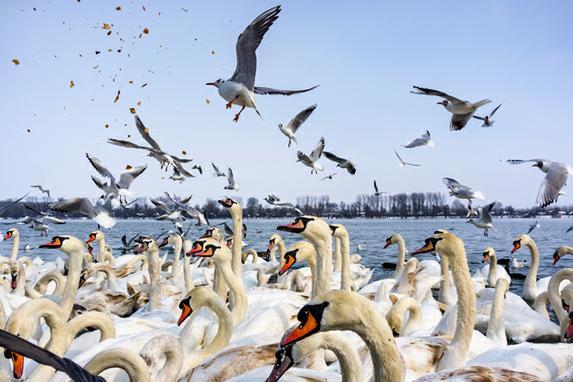 FOTOS DO DIA (Cisnes e gaivotas lutam por pedaços de pão nos bancos nevados do rio Danúbio, em Belgrado. Foto: AFP PHOTO / ANDREJ ISAKOVIC)