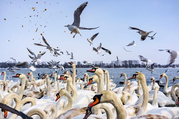 Cisnes e gaivotas lutam por pedaços de pão nos bancos nevados do rio Danúbio, em Belgrado. Foto: AFP PHOTO / ANDREJ ISAKOVIC -