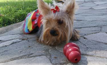 (A yorkshire Lana passou a praticar exercícios regularmente e apresentou melhora de comportamento. Foto: Debora Albuquerque/Esp.DP/D.A Press)
