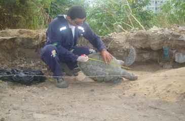 O animal media cerca de 52 centímetros de casco e ficou preso a uma rede de pesca na Praia do Janga (Divulgação/Adriano Artoni)