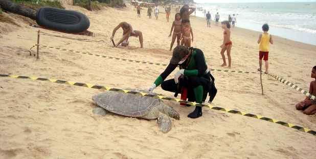Ambientalista Adriano Artoni calcula que 596 tartarugas marinhas foram achadas mortas no litoral pernambucano desde o in�cio do ano passado. Foto: Acervo Pessoal//Divulga��o
