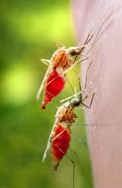 Mosquitos do gênero Anopheles: fêmeas infectadas são as transmissoras da malária. Foto: Jim Gathany/CDC/Divulgação