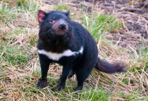 Diabo da Tasmânia. (www.discoverychannel.com.br)