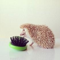Ouriço virou celebridade no Instagram ((@darcytheflyinghedgehog))