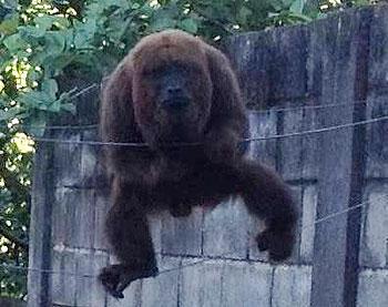 O animal � um dos maiores primatas que habitam o Brasil foto: Maria de F�tima Rodrigues Chaves/Divulga��o (Maria de F�tima Rodrigues Chaves/Divulga��o)