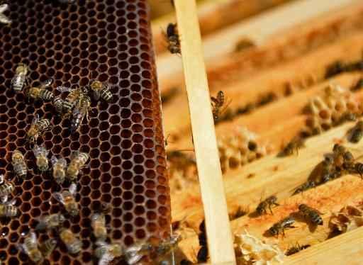 Veneno de abelha para tratar a esclerose m�ltipla mel como cicatrizante - Foto: AFP Daniel Mihailescu (Foto: AFP Daniel Mihailescu)