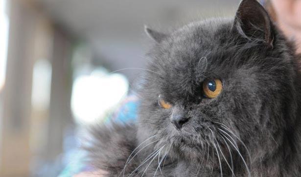 Um dos rins do gato persa de 15 anos deixou de funcionar - mudanças nos hábitos do animal devem ser investigadas pelo veterinário. Foto: Zuleika de Souza/ CB/ D A Press