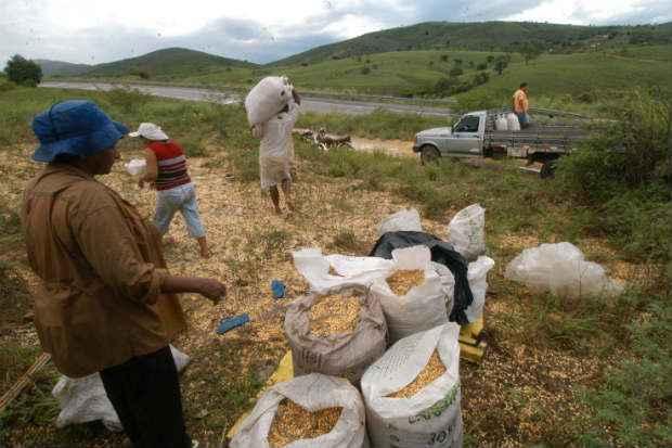 Hoje, produtores do M�dio-Norte de Mato Grosso vendem milho a R$ 12,50/saca. Em Mato Grosso do Sul, as indica��es de compra para julho, pico da safra, est�o em R$ 17/saca e em Goi�s, a R$ 17 50/saca para agosto. Nos dois Estados, o m�nimo de garantia do governo � de R$ 17,56/saca. Foto: Julio Jaconina/D.P/DA Press.