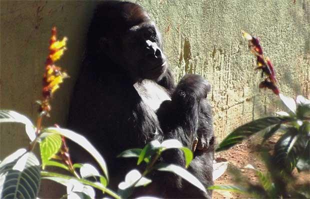 Para Lou Lou a estimativa do parto � no m�ximo para 17 de setembro. Foto da gorila na manh� desta segunda-feira. Foto: Suziane Fonseca