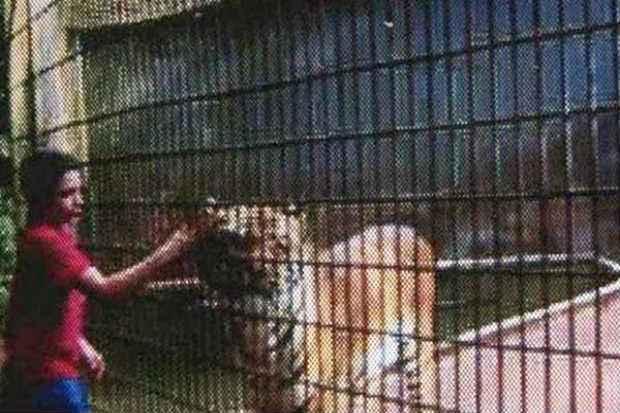 No dia 30, testemunhas filmaram o menino brincando com felinos no zool�gico, por meio de uma grade, dentro de �rea restrita. Foto: CaTVE/Reprodu��o (CaTVE/Reprodu��o)