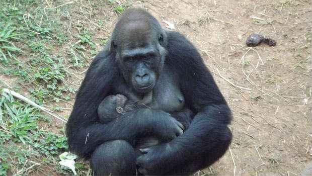 A gorila Lou Lou deu � luz a um filhote nesta semana no zool�gico de Belo Horizonte e o beb� j� � o xod� da cidade. Foto: Suziane Fonseca/Divulga��o
