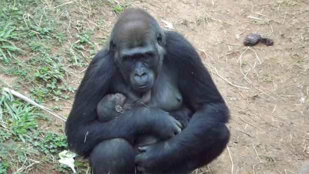 A gorila Lou Lou deu � luz a um filhote nesta semana no zool�gico de Belo Horizonte e o beb� j� � o xod� da cidade