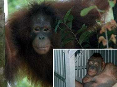 (Borneo Orangutan Survival/Divulgação)