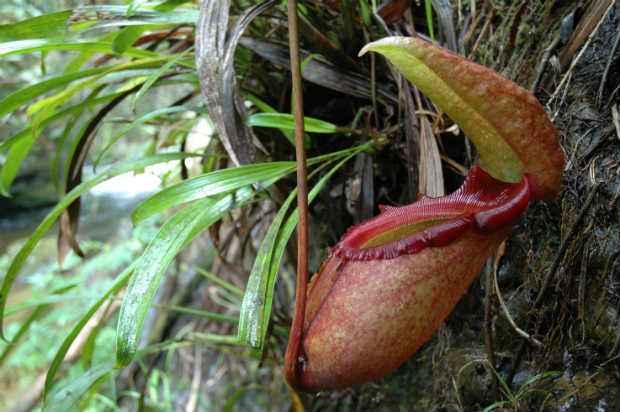 A espécie Nephentes rajah (Internet/ Reprodução)