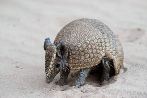 Espaço vaii conservar amostras significativas da caatinga pernambucana e espécies raras e endêmicas como o tatu-bola. Foto: wonderfulseaworld.blogspot.com/Reprodução/ Internet