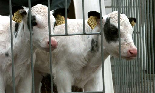 Dois bezerros clonados são vistos em Polsbroek, Holanda. Foto: ANP/Cor Mulder/AFP