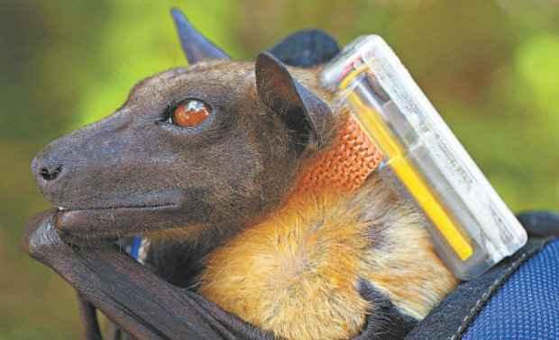 Morcego com sensor preso ao corpo: miniaturização traz a possibilidade de monitorar animais durante todo o dia, por anos. (Foto: Christian Ziegler/Max Planck Institute for Hology/Divulgação)