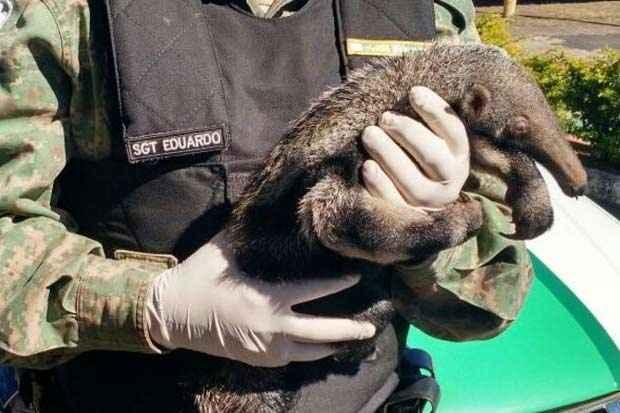 Filhote de tamanduá de aproximadamente um mês estava sem a mãe em uma plantação. Foto: Polícia Militar do Meio Ambiente/Divulgação