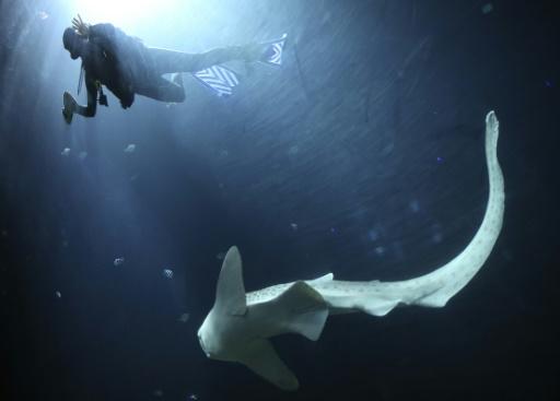 Usando iscas presas a câmeras subaquáticas, cientistas tentam contar os tubarões do mundo. FOTO: Axel Heimken/AFP/DPA