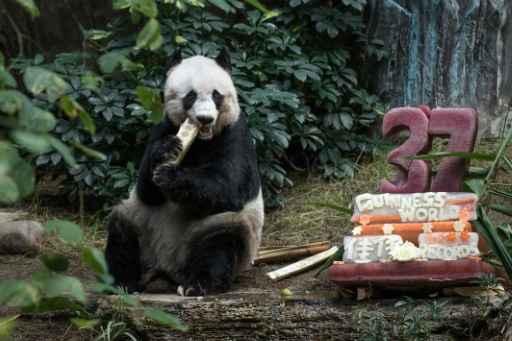 A panda ganhou um bolo feito de gelo e suco de frutas. Foto: PHILIPPE LOPEZ/ AFP
