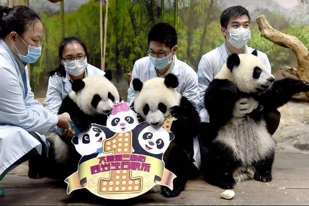 Cuidadores celebram aniversários de pandas trigêmeos no