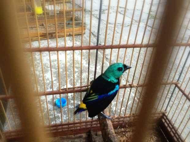 Pássaro pintor-verdadeiro foi localizado no Paulista. Foto: CPRH/Divulgação