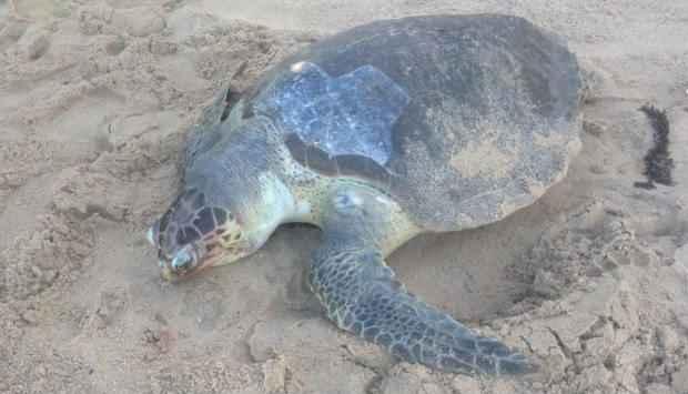 Tartaruga não apresenta sinais de ferimentos. Foto: Paula Losada/DP/D.A Press