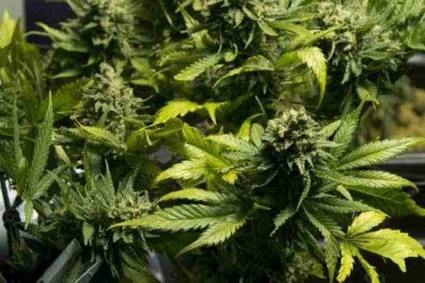 Plantas de cannabis são vistas em Montevidéu. Foto: Pablo Porciuncula/AFP