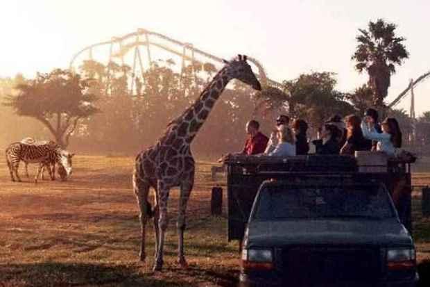 Serengeti Safári é uma das atrações mais procuradas do Busch Gardens de Tampa: proximidade com animais encanta os turistas (Seaworld/Divulgação)