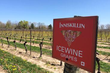 Niagara-on-the-Lake é conhecida pela sua produção de vinhos. Foto: Edilson Segundo/DP/D.A Press
