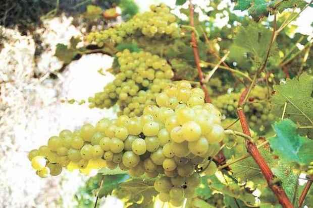 Uva de vinhedos da Terrasul, vinícola em Flores da Cunha, em Altos Montes (foto: Terrasul Vinhos/Divulgação)