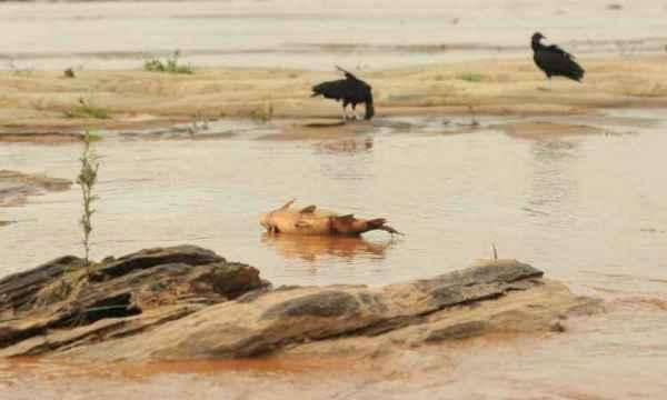 Garças deram lugar a urubus à procura de peixes mortos. Foto: Gladyston Rodrigues/EM/D.A Press