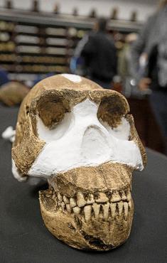 Homo naledi é nova espécie do gênero humano. Foto: Brett Eloff/AFP