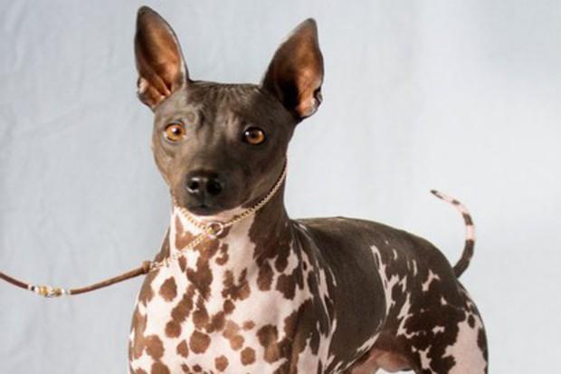 Terrier sem pelo. Foto: American Kennel Club (AKC)