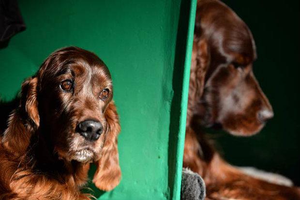 'Verme do coração' ataca cerca de 25% dos cães em todo o país. Foto: AFP/ Oli Scarff.