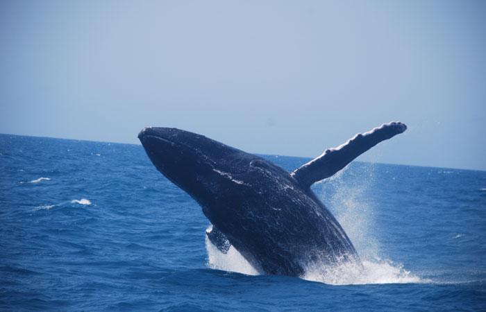 Durante o passeio, ainda é possível contemplar o canto das baleias usando um hidrofone. Foto: Divulgação