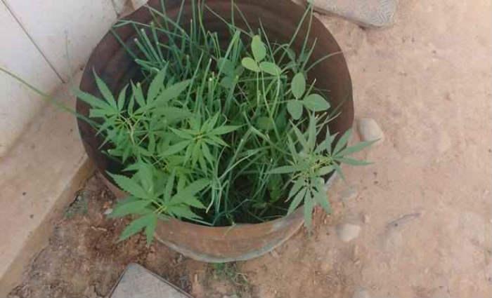 Plantio de maconha com cebolinha foi improvisado numa lata. Foto: Pol