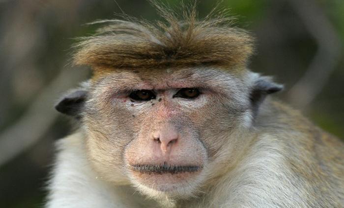 Macaco em Dambulla, no Sri Lanka, em 29 de agosto de 2016. Foto: Ishara S. Kodikara/AFP
