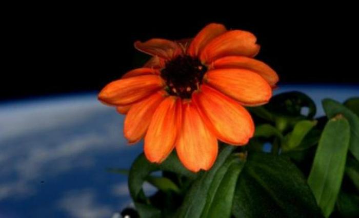 Nasa apresenta foto da primeira flor cultivada no espaço. Foto: Scott Kelly/Nasa (Nasa apresenta foto da primeira flor cultivada no espaço. Foto: Scott Kelly/Nasa)
