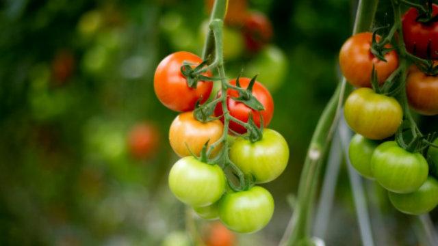 A espécie é muito similar aos tomates atuais em uma jazida da Patagônia. Foto: AFP/Arquivos Johannes Eisele/Reprodução